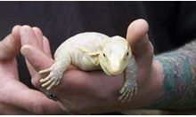 An albino water monitor. Even within albinism, there are varying degrees of colouration, ranging from coppery through to very white. Monitor Lizard, Albinism, Most Beautiful Animals, Reptiles, I Am Awesome, Water, Animales, God, Colour