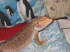Household items can easily become bearded dragon toys! Fluff an empty pillowcase into a cave for your lizard to play hide-and-seek or place a paper towel over your dragon for a game of peek-a-boo and Bearded Dragon Habitat, Bearded Dragon Cage, Dragon Facts, Easy Pets, Pet Turtle, Pet Dragon, Oh Deer, Reptiles And Amphibians, Exotic Pets