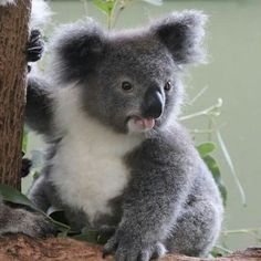 """""""That Friday feeling.oh yeah! It looks like Archer the koala from is getting excited for the weekend. Animals And Pets, Baby Animals, Australian Animals, Mundo Animal, Cute Creatures, Cute Funny Animals, Pet Birds, Animals Beautiful, Dog Cat"""