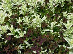 Variegated forget-me-not (Myosotis 'Variegata') with Trifolium repens 'Atropurpurea'   by KarlGercens.com GARDEN LECTURES