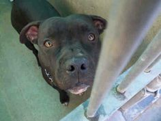 Angels for Animals Network URGENT EUTH LISTED! Came in Christmas Day as a stray. No owner has claimed. Set to be PTS now. Share for rescue, pledges, foster! At Orange County Shelter, CA A1293732 M 1 Year BLACK WHITE PIT BULL 12/25/2013  OC ANIMAL CARE, 561 The City Drive South, Orange, CA 92868, 714-935-6848  https://www.facebook.com/photo.php?fbid=10153653916760223&set=a.317943020222.328357.315830505222&type=1
