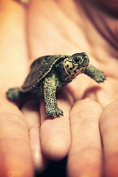 ♥ Pet Turtle ♥ Terra my White Concentric Diamondback Terrapin. :) Photo by Jason Carne Pet Turtle, Tiny Turtle, Turtle Love, Turtle Baby, Green Turtle, Terrapin, Cute Turtles, Baby Turtles, Nature Animals