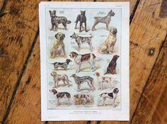 1900 DOGS print original antique animal lithograph of dog breeds - bassett hound king charles spaniel pointer setter mastif by antiqueprintstore on Etsy