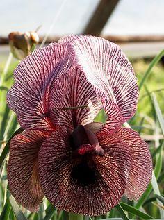 Iris (Oncocyclus sec.) iberica var. lycotis