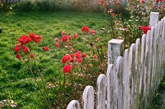 Roses and weathered pickets.
