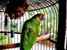 1889 Green Parrot at Jerry's Grocery Center on Sanibel Island This parrot has been here for many years, as has been the adjoining white one.    This parrot has been here for many years, as has been the adjoining white one.
