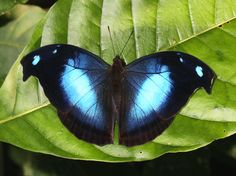 The Great Blue Hookwing (Napeocles jucunda). This species inhabits rainforest at the foothills of the eastern Andes, at altitudes between about 400-800 metres above sea level.