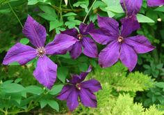 Try growing several Clematis together, too. The color combinations and bloom times are myriad! The easy way to do this is to plant two of the same pruning type together so you don't have to worry about which one gets pruned where and when. However, you can often mix them. One way is to grow a Type 3 up the legs of a mature Type 1 to fill in and provide another season of bloom in the same space.