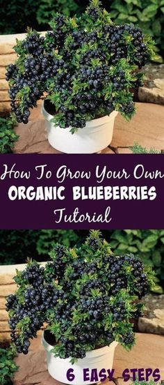 Container Gardening For Beginners How To Grow Your Own Organic Blueberries Tutorial - Are you a blueberry lover? How To Grow Your Own Organic Blueberries Tutorial will show you how you can have them available in your own home. Organic Vegetables, Growing Vegetables, Growing Plants, Hydroponic Gardening, Hydroponics, Container Gardening, Vegetable Gardening, Hydroponic Systems, Veggie Gardens