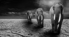 https://rugidosyronroneos.wordpress.com/2015/07/24/animales-en-peligro-de-extincion-africa-y-sus-guerras/  La extinción de las especies en el planeta viene dada en buena parte por la mano del hombre. Tráfico ilegal, alteración y destrucción de sus hábitats, caza furtiva. Entre todos, estamos acelerando el proceso del cambio climático … con fatales consecuencias que todos conocemos. Ademas de esto, no sé si sabías otra causa de exterminio animal como es …la guerra.