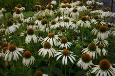 Bilde av PURPURSOLHATT 'WHITE SWAN' White Swan, Dream Wedding, September, Planters, Romantic, Flowers, Gardening, Lawn And Garden, Plant