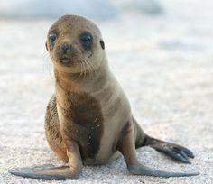 León marino bebé