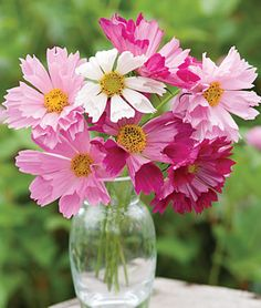 "Cosmos 'Seashells Mix' - Each petal is tubular with a frilly edge. Perfect in your sunny beds and vases. Height 36-48""."