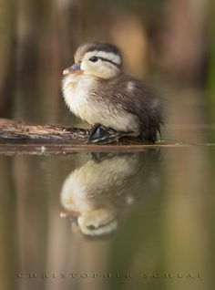 Baby Duck reflecting on life. Cute Baby Animals, Farm Animals, Animals And Pets, Cute Creatures, Beautiful Creatures, Beautiful Birds, Animals Beautiful, Little Duck, Baby Ducks