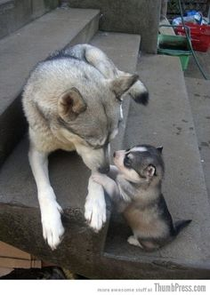 oh my goodness!! huskys are the cutest!!!