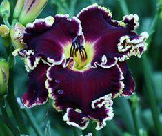 "*BUFFALO THUNDER (Stamile-Pierce) TET 9292 ((Violet Becomes You x Big Red Wagon) x (Violet Becomes You x Into The Evening)) 42"", 7.75"" flow..."