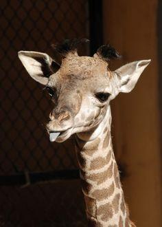 Santa Barbara's Surprise Giraffe!  His name is Daniel.