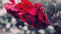rose, drops, dew - http://www.wallpapers4u.org/rose-drops-dew/