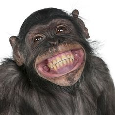 Primates, Smiling Animals, Funny Animals, Cute Animals, Laughing Animals, Monkey Smiling, Talking Animals, Animal Funnies, Animal Memes