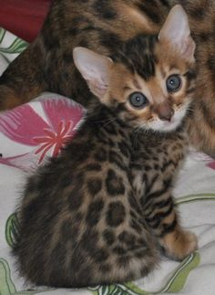 Not a fan of cats but I am of LEOPARD PRINT :: Bengal Kittens, pretty damn cute :)