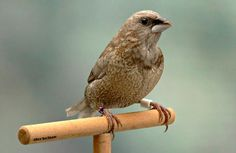 The Society Finch, also known as the Bengalese Finch and sometimes referred to as the Japanese Movchen, is one of the few species of domesticated finch. Finches do not play with toys, but they do enjoy swings and ladders.