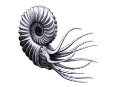 ammonite drawing