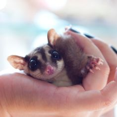 Sugar glider: These exotic pets thrive while socializing with their owners, so many owners wear them in a special pouch during the day while the animal sleeps...I'm all ready in love!