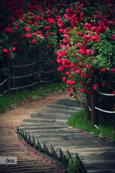 Stunning stairway of roses!