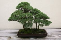 RK:Chinese Juniper (Juniperus chinensis) 'Blaauw' | Flickr - Photo Sharing!