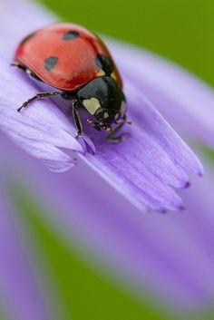 Lady Bug On A Purple Flower