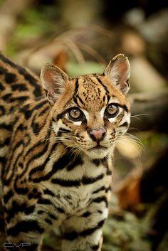 parece un minileopardo o gato silvestre de los grandes como gato. Esta diciendo *DO YOU LOVE ME*, YES, YES I DO.
