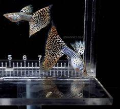 "Jooww Johannes Gea on Instagram: ""Hitung BAR💦 #guppy #joowwguppy #ikanhias #aquascape #aquarium #contest #sale #usa #canada #brasil #mexico #indonesia #malaysia #europe…"" Freshwater Aquarium Fish, Guppy, Fresh Water, Mexico, Europe, Canada, Bar, Pets, Animals"