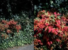 Russet tones of Autumn Nandina - With Wings & Mind