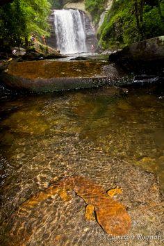 Hellbenders – Largest salamanders in the world
