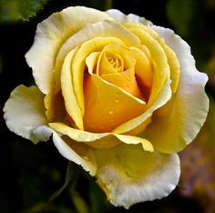 Online Contest - Yellow Rose of Texas Contest - For Group Members Only - Fine Art America
