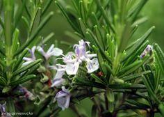 Horta - Como plantar Alecrim (Rosmarinus officinalis) #alcanceosucesso