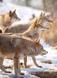 wolf_alphhawolf