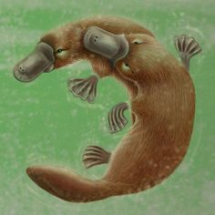 Platypus Life Cycle - Adults Mating by Karen Hull Wildlife Paintings, Animal Paintings, Animal Drawings, Work With Animals, Cute Animals, Draw Animals, Aquarium Photos, Giraffe Painting, Tatoo
