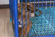 Uncovering the hidden horrors of Thailand's Tiger Temple Thai wildlife authorities have uncovered dozens of dead tiger cubs and hundreds of other tiger parts Dead Tiger, Tiger Temple, World Animal Protection, Trophy Hunting, Animal Cruelty, Animals Of The World, Animal Welfare, Pet Care, Animal Rescue