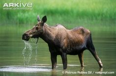 moose female - Google Search