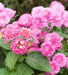 'Bandana Pink' lantana Lantana 'Bandana Pink' offers large heads of pink-blushed blooms that mature to rich pink. Full Sun Flowers, All Flowers, Pretty Flowers, Colorful Flowers, Landscape Design Small, Lawn And Landscape, Small Garden Design, Cottage Garden Plants, Cottage Gardens