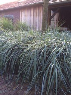 De Leymus arenarius is een van de sterkste grassoorten. De Leymus kan goed tegen tijdelijke droogte of natte omstandigheden. Daarom is de Leymus arenarius goed te gebruiken in een pot of plantenbak op het terras. Dit Noors Helmgras met zijn mooie blauwe kleur is zeer vorstbestendig.