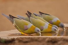 fairy-wren:  yellow-footed green pigeon  (photo by dee musiel)