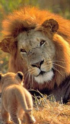 Lion and son