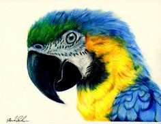 Macaw Colored Pencil Drawing by pinsetter1991 on deviantART