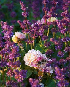 Kranssalvia, Salvia verticillata 'Purple Rain', och rugosarosen Rosa 'Agnes'