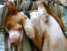 handsomedogs:  Cody dreaming (Podenco Andaluz) Ute Latzke, artist on tumblr,http://utelatzke.tumblr.com