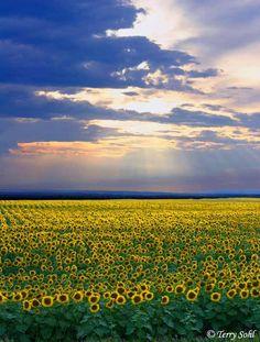 South Dakota sunflower fields  www.titanoutletstore.com