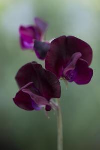 Lathyrus odoratus, Modern Grandiflora Sweet Peas, 'Beaujolais'