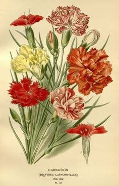 clavel botanica - Buscar con Google